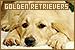 Golden Retrievers:
